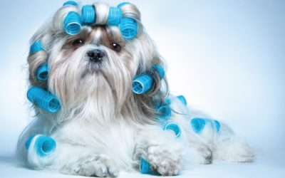 Dog with Curlers