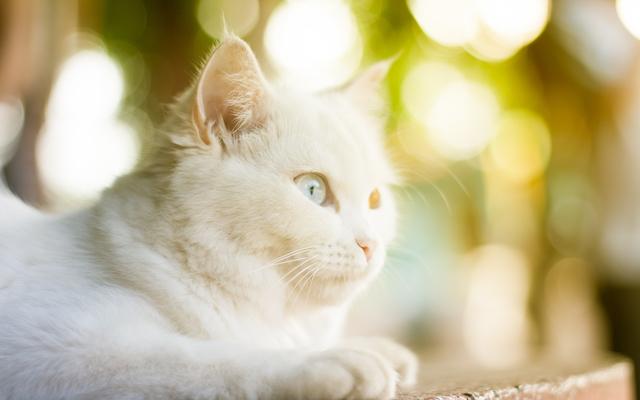 Older Cat